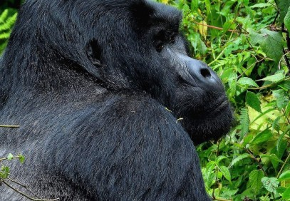 3-Day Gorilla Fly In Safari to Bwindi Impenetrable National Park