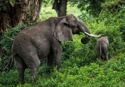 Gibbs Farm Elephant And Calf