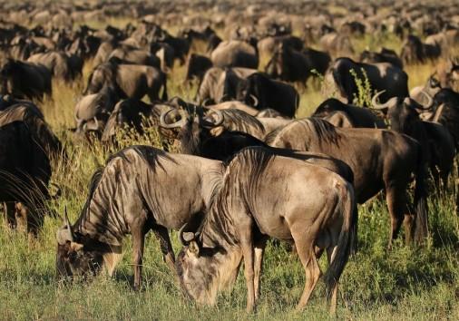 Serengeti Wildebeest Migration Kb 1200 1200x800