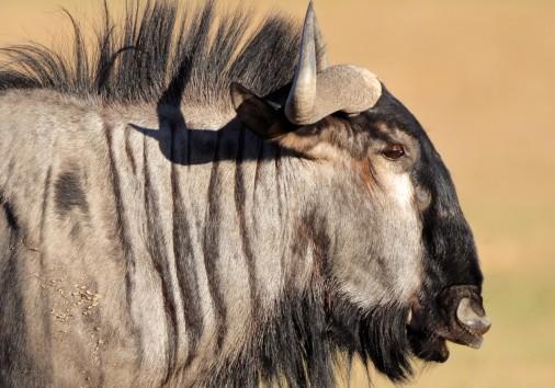 Blue Wildebeest Ogimage