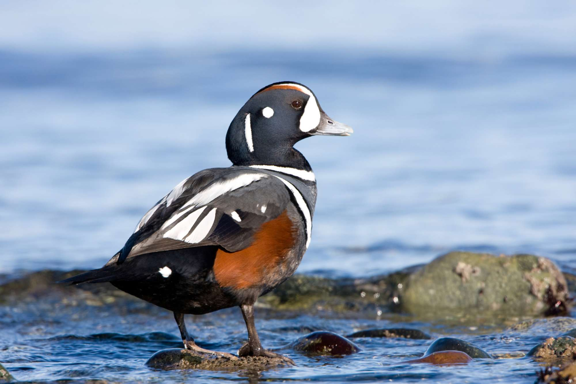 Iceland Harlequin Duck Istkiceland Whimbrel Istk Discover The World 02