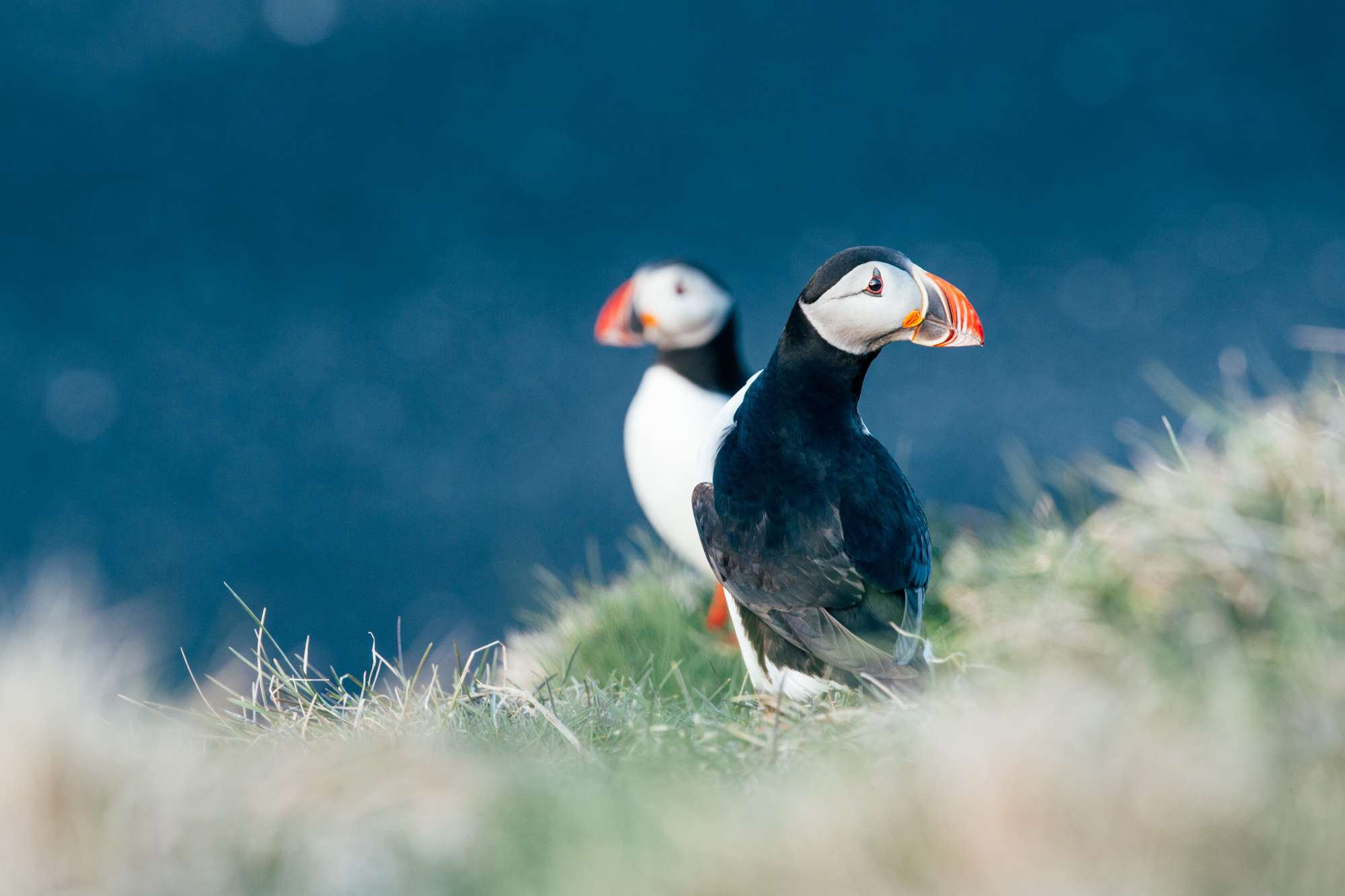 Iceland Puffins Cliff Edge Gt Iceland Whimbrel Istk Discover The World 04