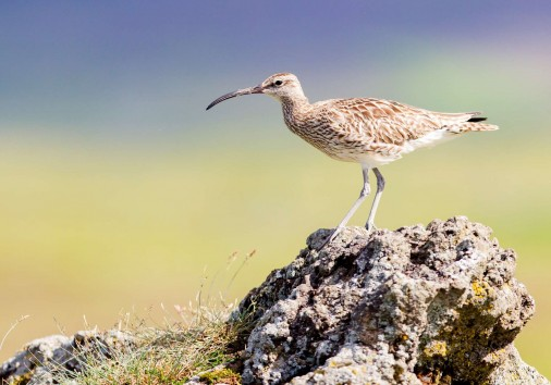 Iceland Whimbrel Istk Discover The World 01