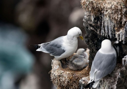 Kittiwakes Pair With Chick On Cliff Istk Iceland Whimbrel Istk Discover The World 05