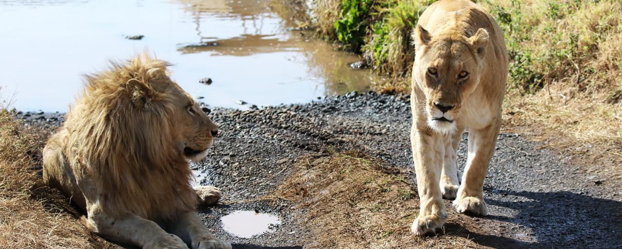 Leoni Ngorongoro Tanzania Safariadv Exploringafrica Love Safari Gamedrive Africa Afrika Afrique