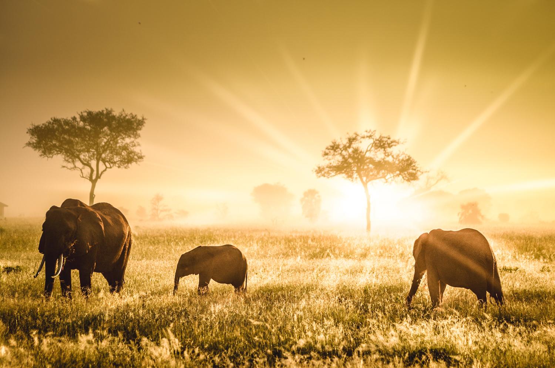 Mikumi Np Elephants 1