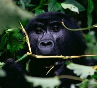 3-Day Gorilla Trek Express