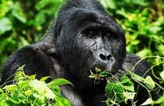 Special Offer – 4 Days Uganda Safari, Gorilla and Chimpanzee