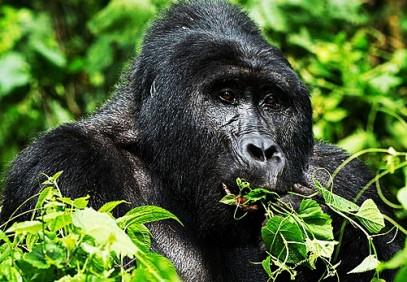 4 Days Uganda Safari, Gorilla and Chimpanzee