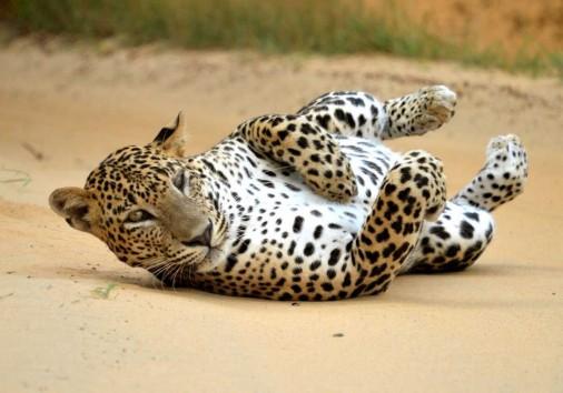 Leopard In Yala National Park 20190705073418