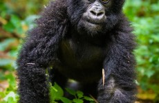 6-Days Rwanda Primates Safari Gorilla & Chimpanzee Trekking