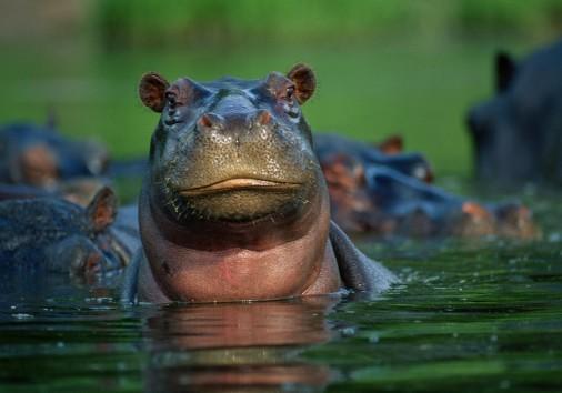 Hippopotamus Closeup Water.ngsversion.1396530570070.adapt.1900.1