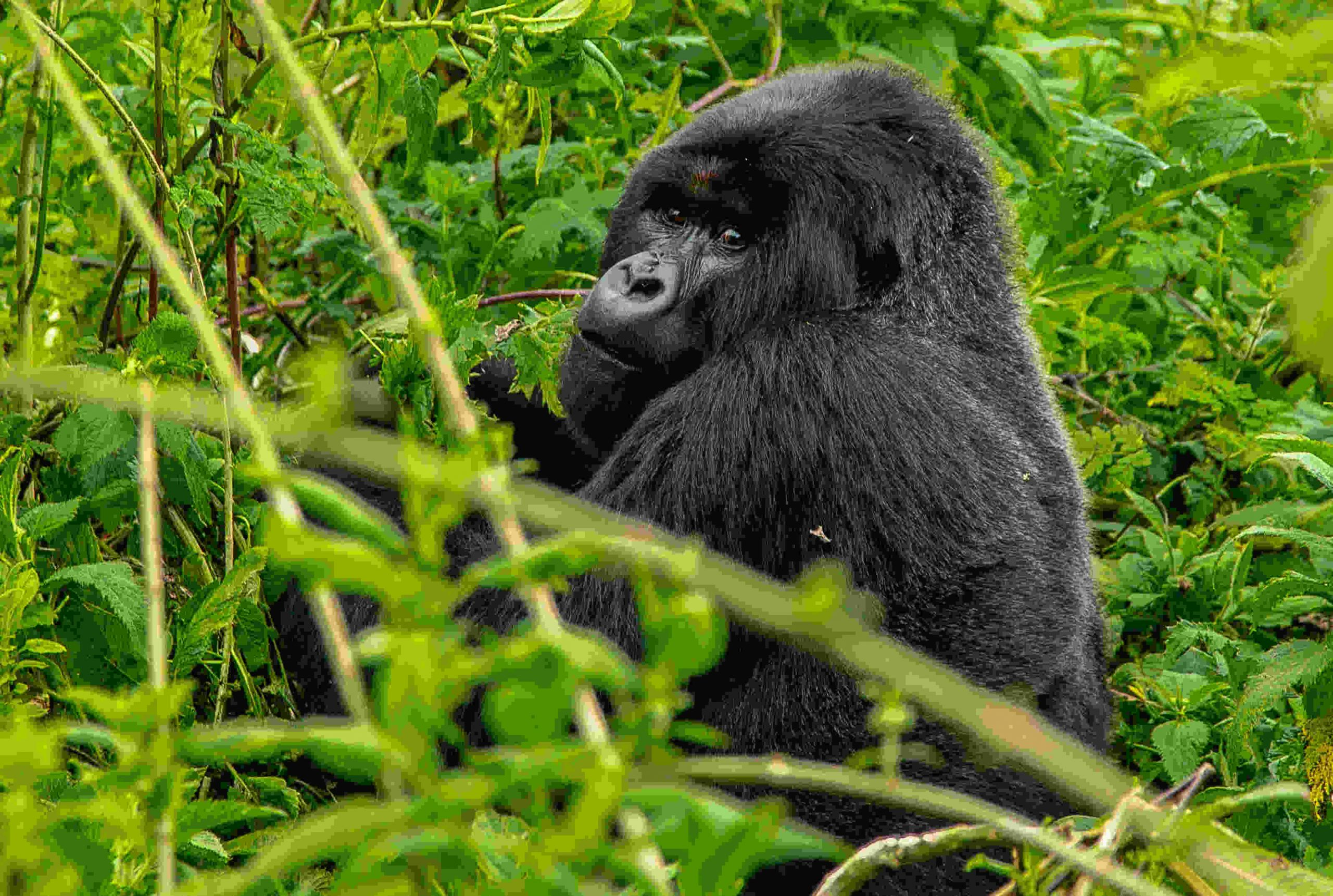 Lonely Silverback Feeds