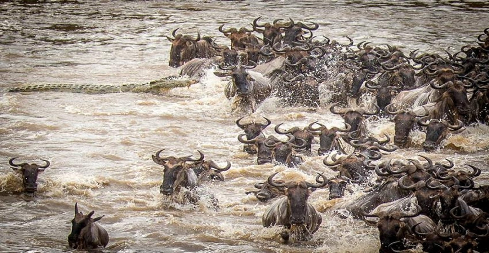 Thumb 850 225330 Wildebeest
