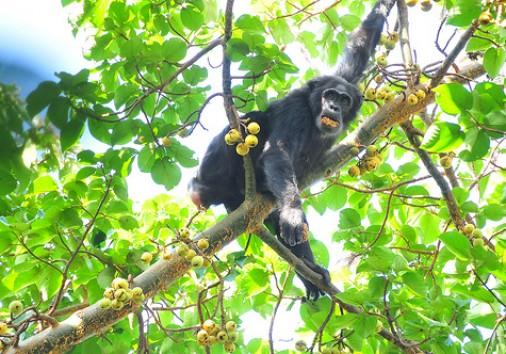 3 Days Chimpanzee Trecking In Kibale National Park Uganda 1