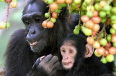 Special Offer – 3 Days Chimpanzee Tracking Uganda