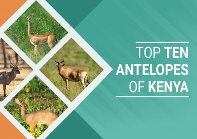 Top Ten Antelopes of Kenya