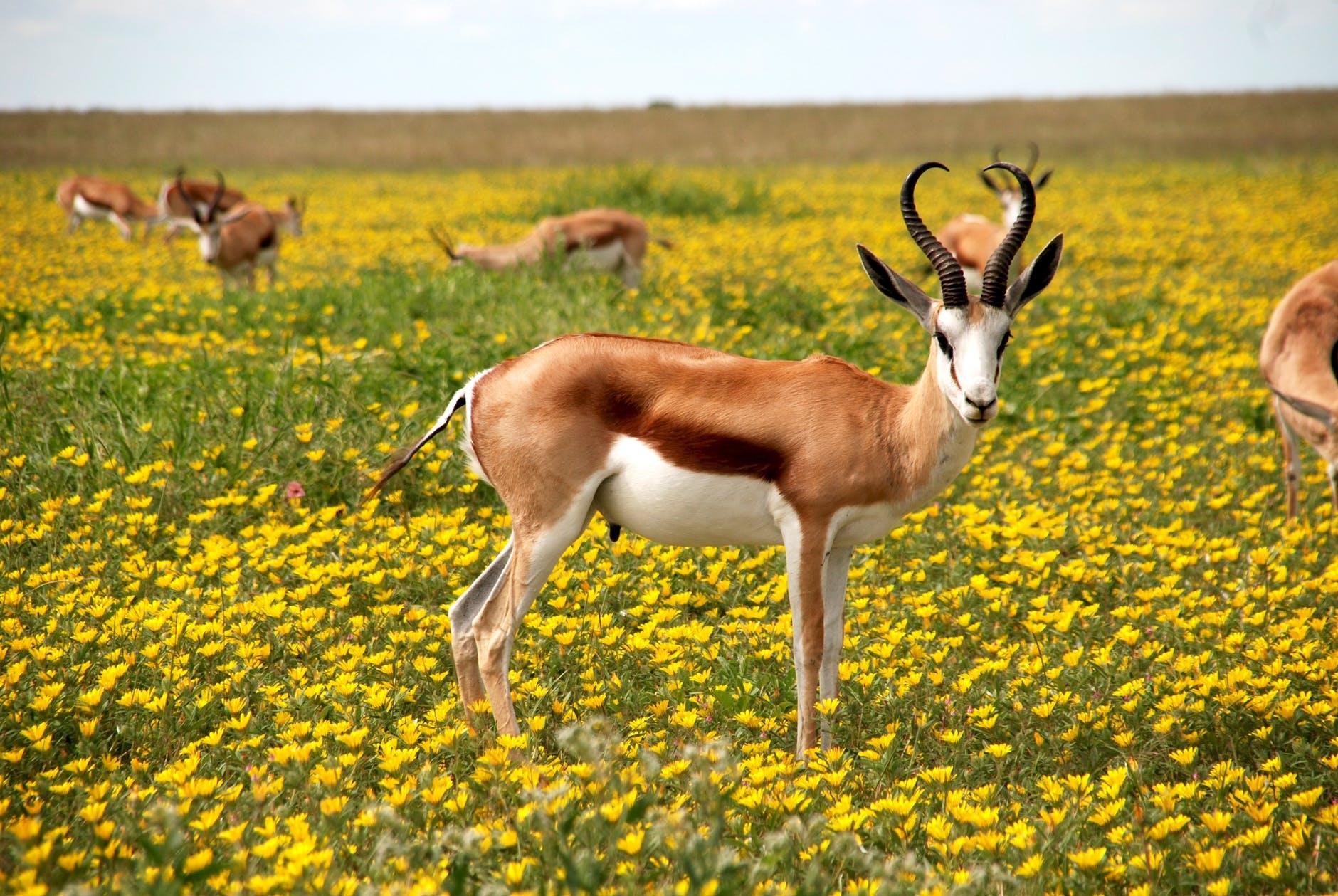 Antelope Nature Flowers Meadow 52961