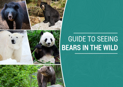 Guide to Seeing Bears in The Wild