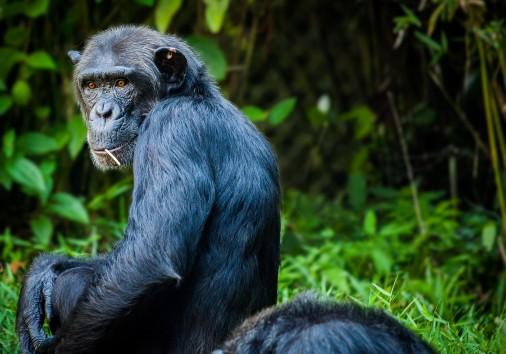 Chimpanzee 1545010 1920