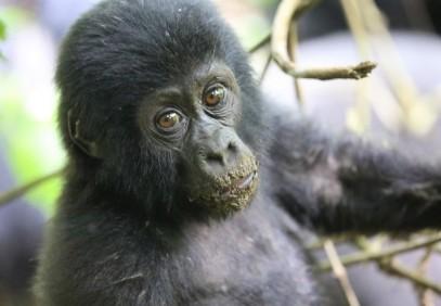 5 Days Uganda Safari, Gorillas & Chimpanzees