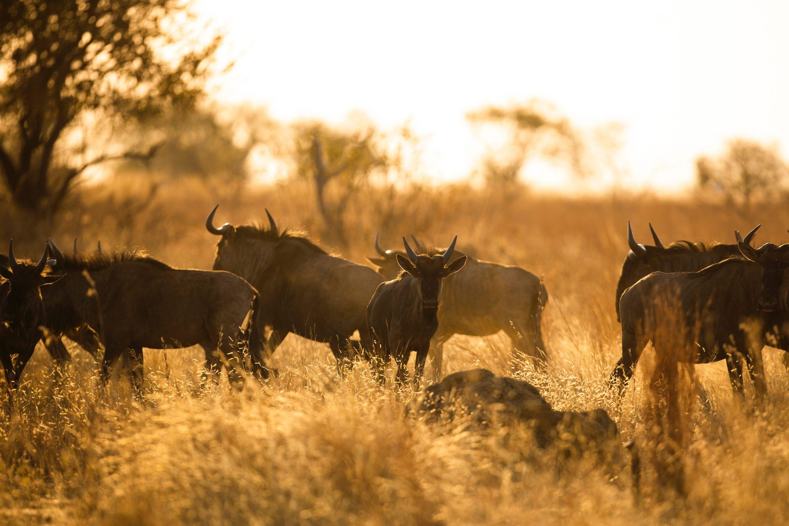 Wildebeest Migration Safari